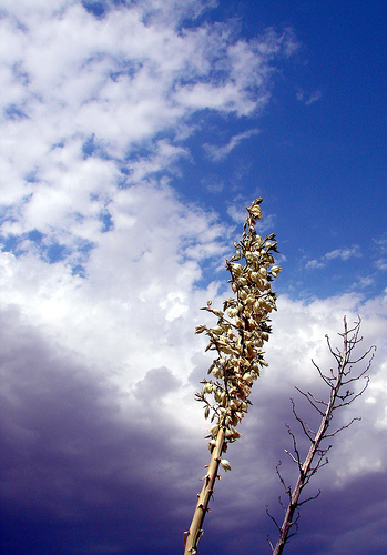 Yucca Stalks Rattle in the Wind and Shake Black Seeds on Your Hair That Taste Like Wood