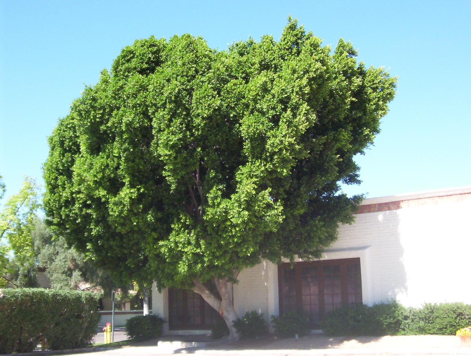 Ficus Nitida East Los Angeles Dirigible Air Transport Lines