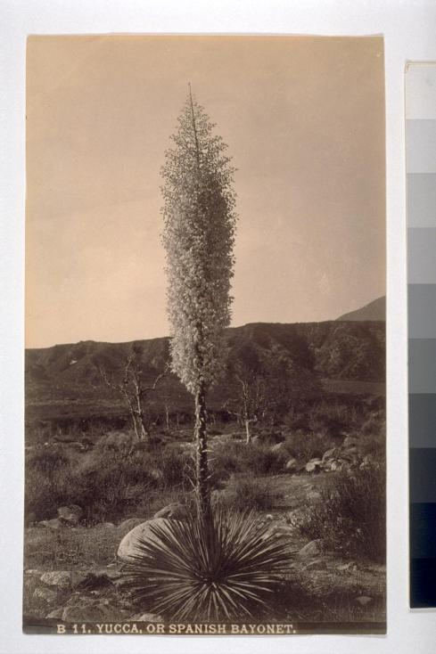 "The yucca says, ""When you only bloom once in a lifetime, you have to make the next one count. Blackened dry stalk under a blowing wintry sky of mist on the rocky San Gabriels. Asyndeton right there, climax accordingly, euphemisms for the structures of cyberspace. Sure."""
