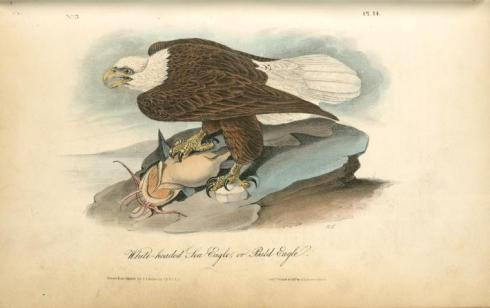 John-James-Audubon-White-headed-Sea-Eagle-or-Bald-Eagle