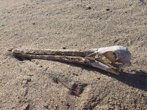 pelican skull