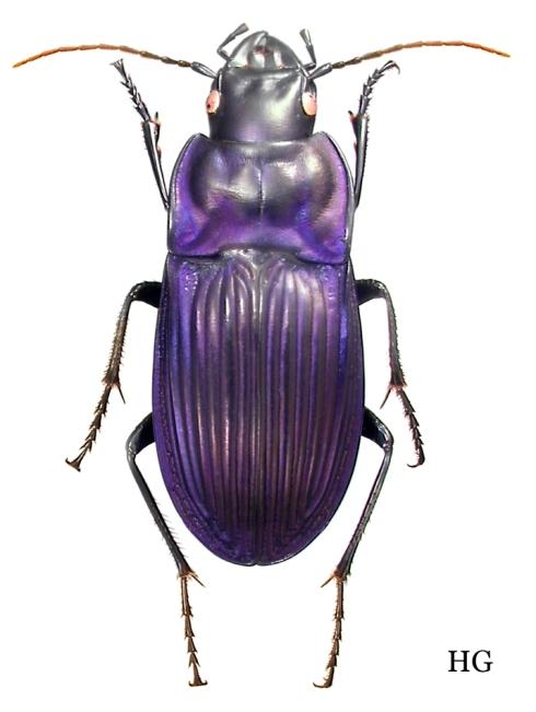 Dicaelus Dicaelus purpuratus 2643